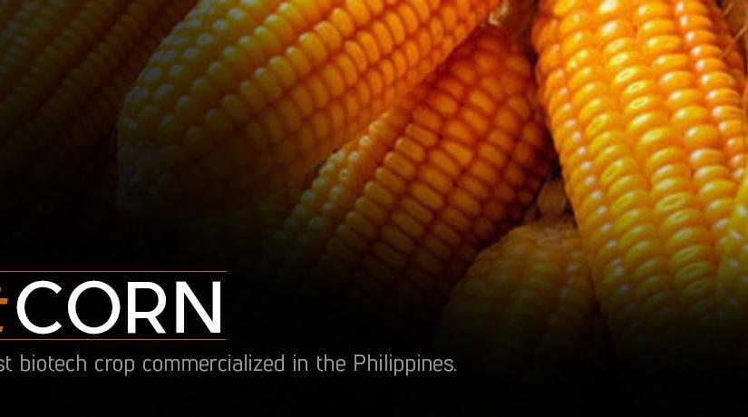 Biotechnology crop area down heftily 21% due to fake Bt cornseeds