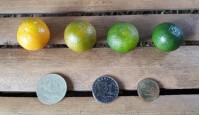PHOTO Calamansi fruit stages