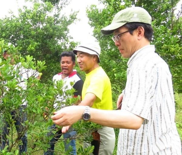 Off season calamansi production in Victoria, OrientalMindoro