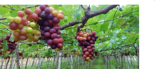 PHOTO Gapuz Grape Farm