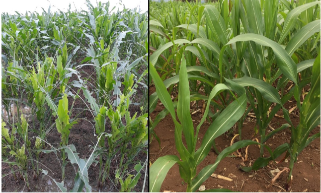 Corn hybrids resistant to corn borer also fights newly emerged fallarmyworm