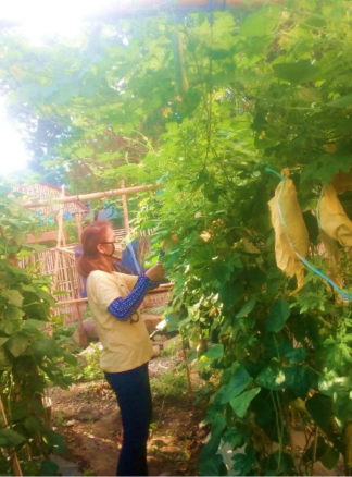 Taguig urban farmers sustain livelihood and nutritious food despite lockdown due to Covid19