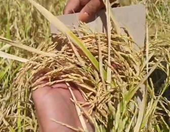 Former talahiban, now an eight-tonner rice producingland